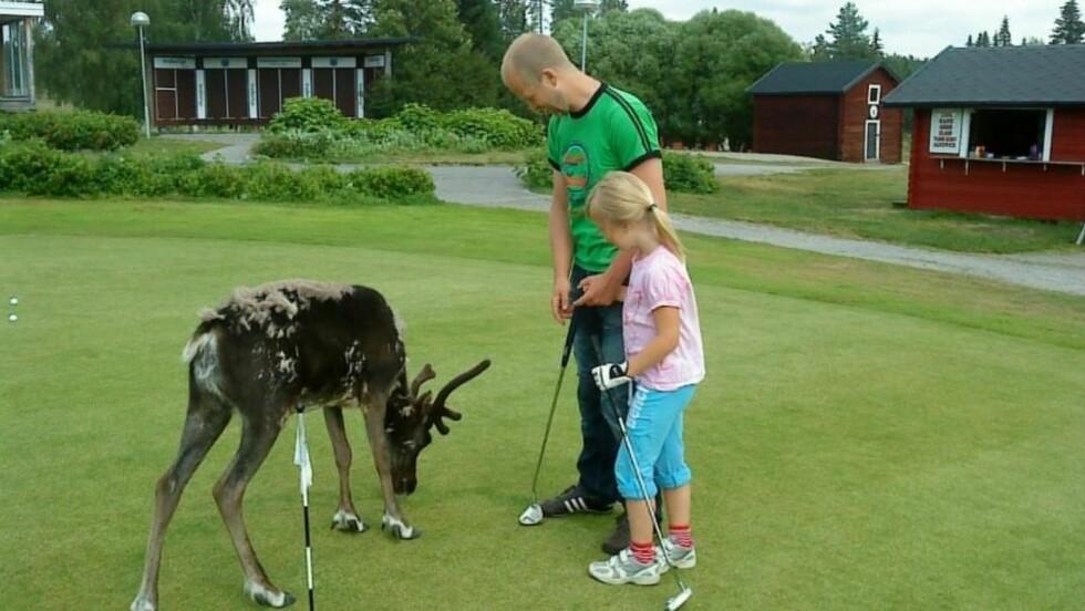 GOLFREIN: Reinsdyrene på greenen i Skellefteå i Nord-Sverige elsker golf og golfspillere, store som små. I to måneder har de to fulgt spillerne rundt på banens 27 hull. Nå skal de få navn. Egen konkurranse er allerede utlyst, og da blir de uspiselige. En spiser nemlig ikke dyr en har gitt navn. Foto: Lena Parpis.