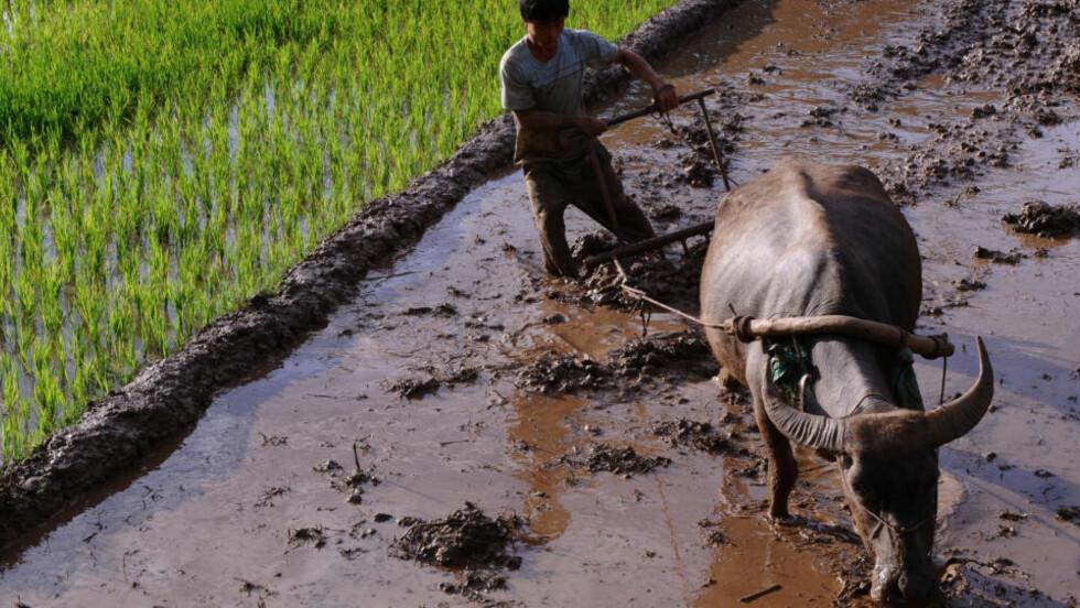 HARDT ARBEID: En risbonde pløyer på tradisjonelt vis i Son La-provinsen 25. juli. Hans hjemland Vietnam er et av landene som vil rammes hardt av klimaendringene. Foto: AFP/Scanpix