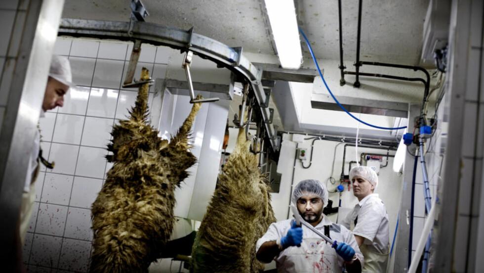 I Allahs navn: Med nyskjerpet kniv og islamsk velsignelse kutter Mahmod Chak struper på Gol. Denne torsdagsmorgenen skal 100 sauer slaktes for Norturas halal-varemerke Alfathi, rettet mot norske muslimer. Foto: Linda Næsfeldt