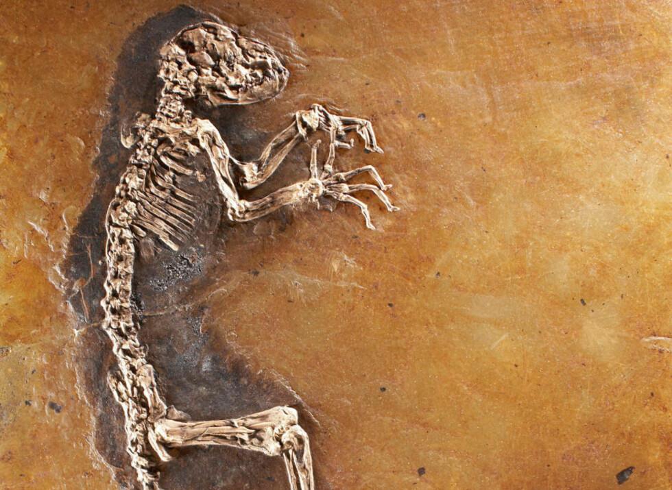 - INGENTING MED MENNESKER Å GJØRE: En ny studie konkluderer med at «Ida» ikke er en slektning av mennesket, og tilhører en helt annen gren av primattreet. Det 47 millioner år gamle fossilet har skapt en svært opphetet debatt, etter at det i fjor ble avduket av den norske paleontologen Jørn Hurum. Foto: AFP PHOTO/handout/courtesy The Link/SCANPIX