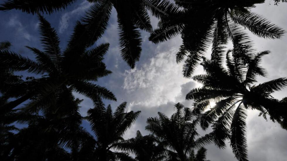 BIODRIVSTOFF: Palmeolje til biodrivstoff dyrkes i byen San Francisco på Filippinene. Foto: AFP PHOTO/TED ALJIBE/Scanpix