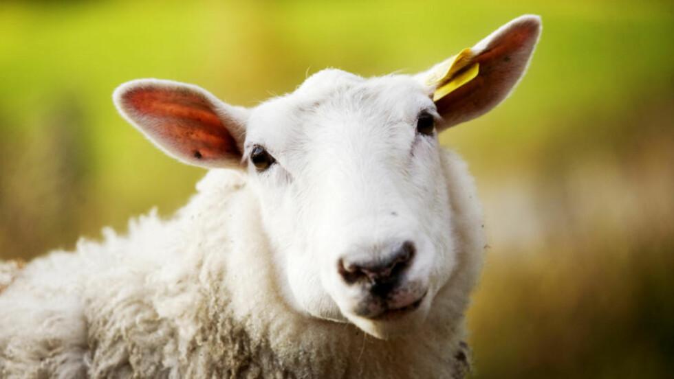 VÅT: Regn og dårlig vær har ført til dårligere beiteforhold og våt ull på lammene. Foto: Kyrre Lien / SCANPIX