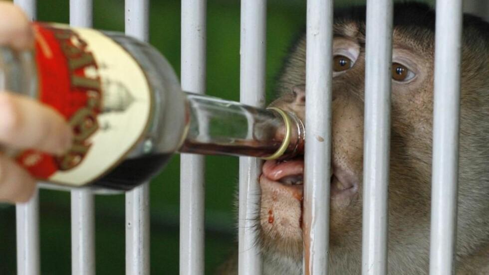 FÅR RØDVIN: Tasik får rødvin, da dyrevokterne tror det beskytter mot svineinfluensa. Foto: REUTERS/Ilya Naymushin/Scanpix