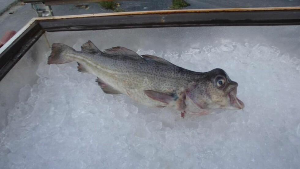 DEFORMERT: Kul på hodet og utovervrengte lepper. Fanget ved oppdrettsanlegg. Foto: Fiskeridirektoratet.