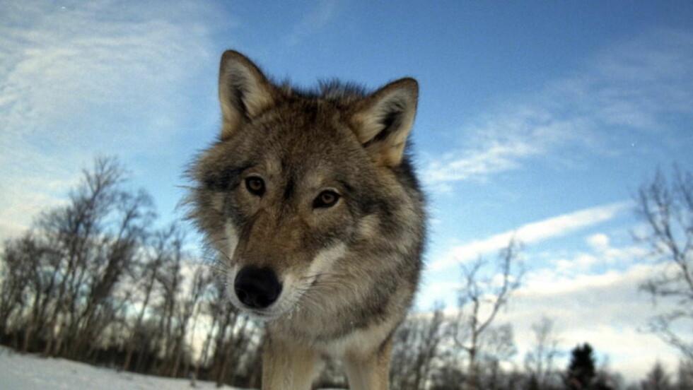 I HARDT VÆR: De svenske ulvene sliter. Foto: Bjørn-Owe Holmberg