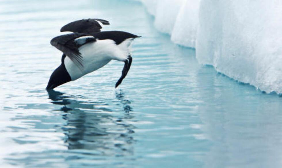 LOMVI:  En lomvi  er vel så god til å dykke som til å fly. Når den skal flykte stuper den gjerne rett ned i havdypet. Foto: Håkon Mosvold Larsen / SCANPIX