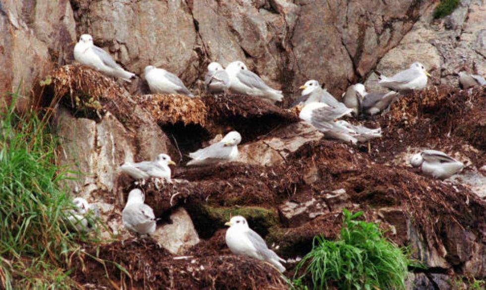 KRYKKJER:  Her fra Vikna Båtforening og Vikna Havnevesen i Rørvik i Nord-Trøndelag som følte seg plaget av krykkjene i 1999. Nå kan fuglearten være på vei ut av norsk natur. Foto Lysø, Namdals-Avisa/SCANPIX