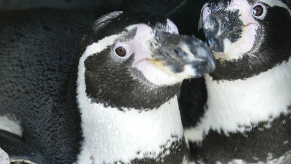 BLIR FORELDRE: Dette arkivbildet viser paret Sechs Punkt og Schraegstrich, et av flere homofile pingvinpar i Bremerhaven Zoo. Foto: AFP PHOTO   DDP/DAVID HECKER /SCANPIX