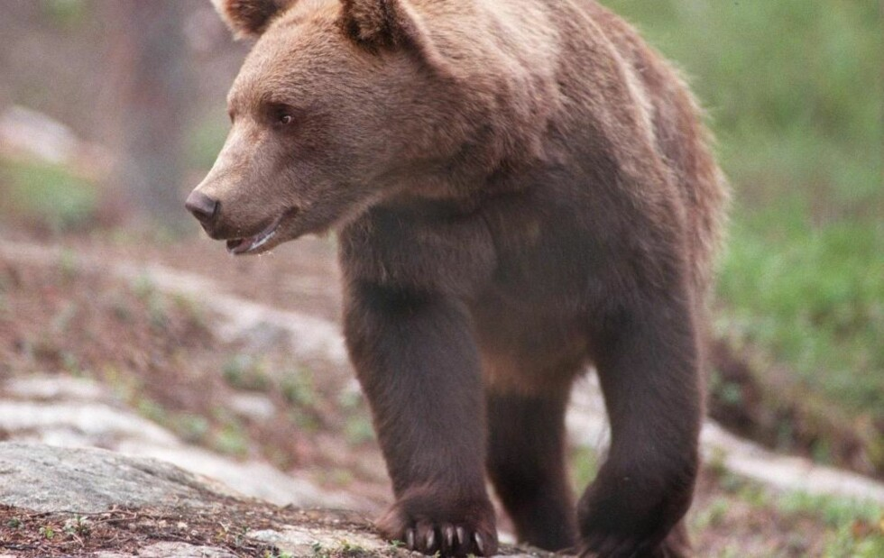 FIKK FELLINGSTILLATELSE: En brunbjørn ble felt i Finnmark denne uka etter at lokale bønder i Neiden oppdaget flere sauekadavre med tydelige tegn på bjørneangrep. Illustrasjonsfoto: SCANPIX / dyr / bjørner /