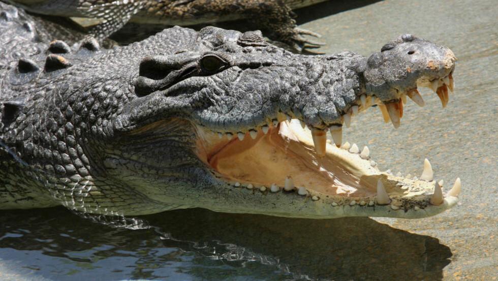 DRISTIGE TYVER: 30 krokodiller er stjålet fra en oppdrettsgård i Darwin i Australia. Foto: AFP PHOTO / Greg WOOD