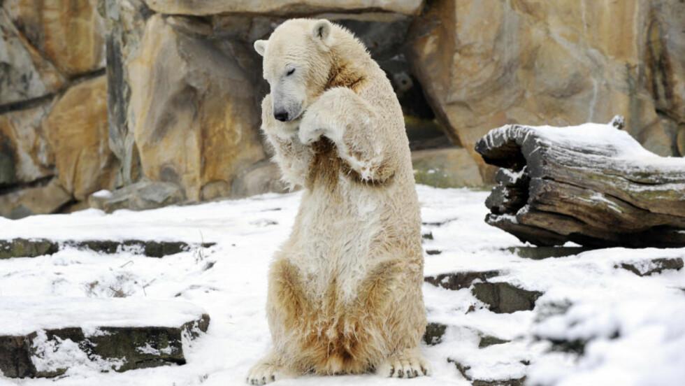 SOLGT: Isbjørnen Knut blir i Berlin etter at han ble solgt til dyrehagen for nesten fire millioner kroner. Foto: AFP/SCANPIX