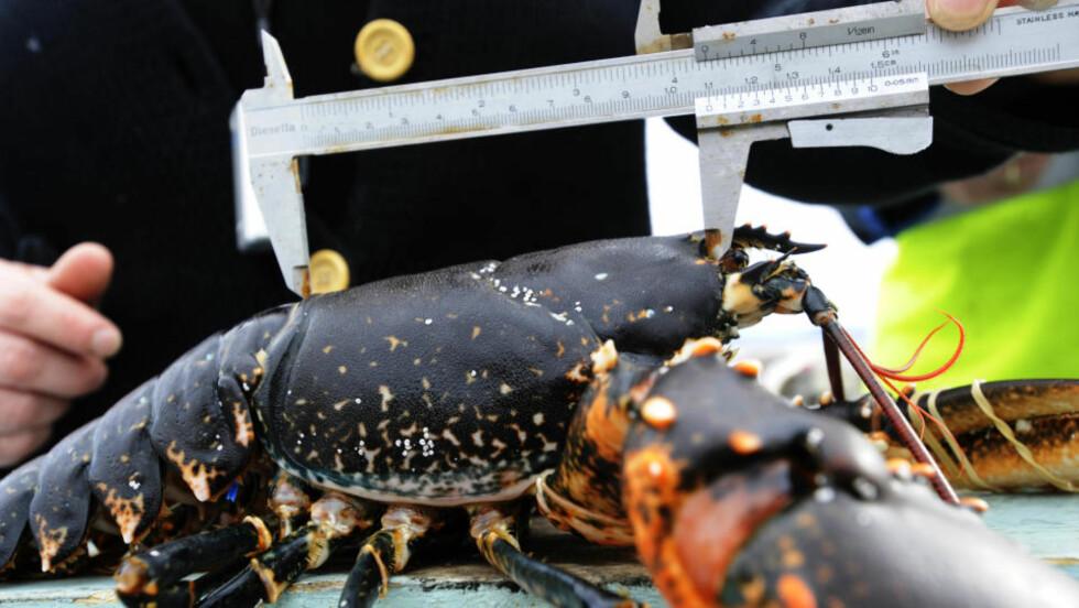 AKSJON: Tidenes største aksjon mot ulovlig hummerfiske har ført til 231 anmeldelser.  Her måles en hummer før den registreres og settes ut igjen.   Foto: Marit Hommedal / SCANPIX