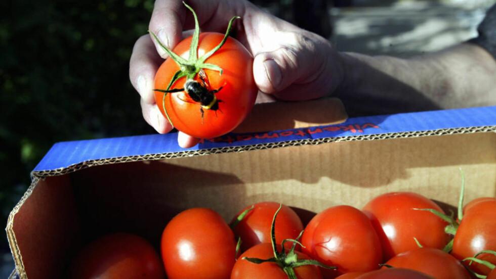 POPULÆR: Tomaten går forbi bananen i omsetning hos nordmenn. Foto:  Roland Stregfelt / SCANPIX