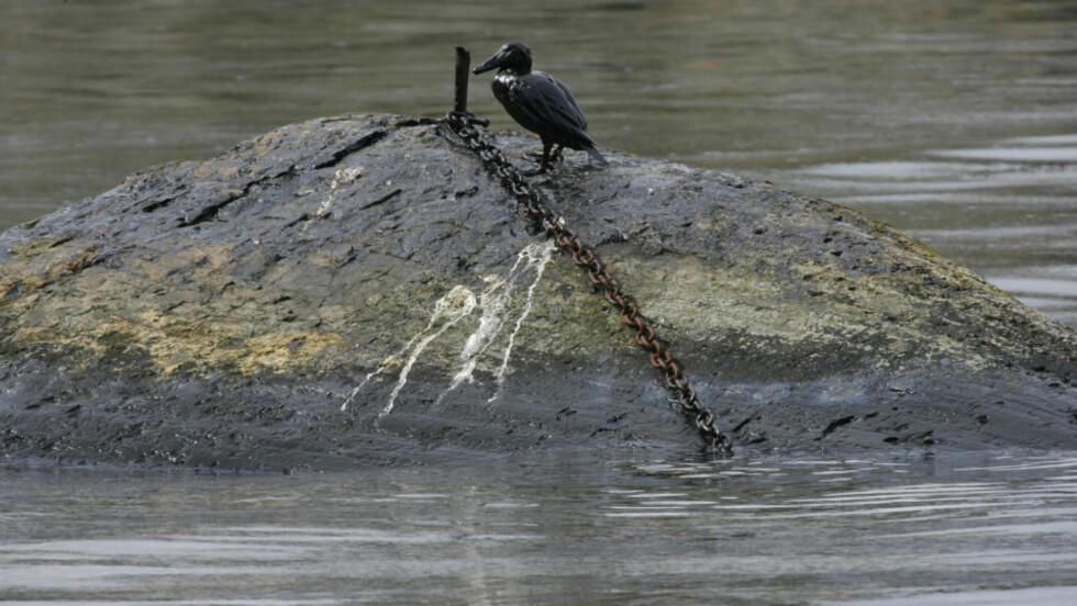 KAN DEN OVERLEVE? WWF og flere andre jobber nå med å fange og vaske fugler. Foto: Torbjørn Berg.