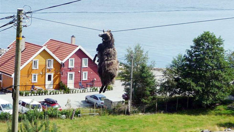 IKKE VÆR DAG: Væren dinglet etter hornet fem meter over bakken på Helgøy i Rogalands-kommunen Finnøy. Foto: Marita Vestersjø Landsnes