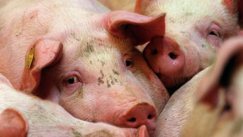 DYRENE SPEILER HVEM VI ER: Men vi tenker også i hierarkier, hvor hunder, hester og katter har større krav på omsorg og respekt enn kyllinger og griser, skriver Pernille Stensgaard. Illustrasjonsfoto: Lise Åserud / SCANPIX