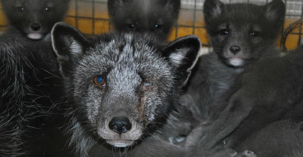 TOK SEG ULOVLIG INN PÅ GÅRDENE: Aktivistene i Nettverk for dyrs frihet har i sommer tatt seg inn på 45 oppdrettsfarmer i Norge. Resultatet er mer enn 7 000 bilder som dokumenterer omfattende dyremisbruk. Foto: NETTVERK FOR DYRS FRIHET