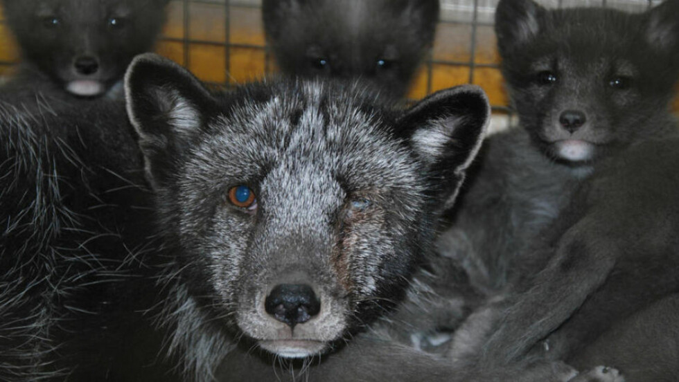 TOK SEG ULOVLIG INN PÅ GÅRDENE: Aktivistene i Nettverk for dyrs frihet har i sommer tatt seg inn på 45 oppdrettsfarmer i Norge. Resultatet er mer enn 7 000 bilder som dokumenterer omfattende dyremisbruk. Nå mener også Veterinærforeningen at næringen må stoppes. Foto: NETTVERK FOR DYRS FRIHET