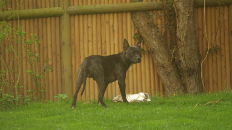 MÅ DØ:  Kamphunden Ice må trolig bøte med livet for å ha drept to katter og en kanin. Bildet er fra april etter at hunden akkurat har bitt en kanin i familien Holms hage. Foto: Lokalavisen.dk