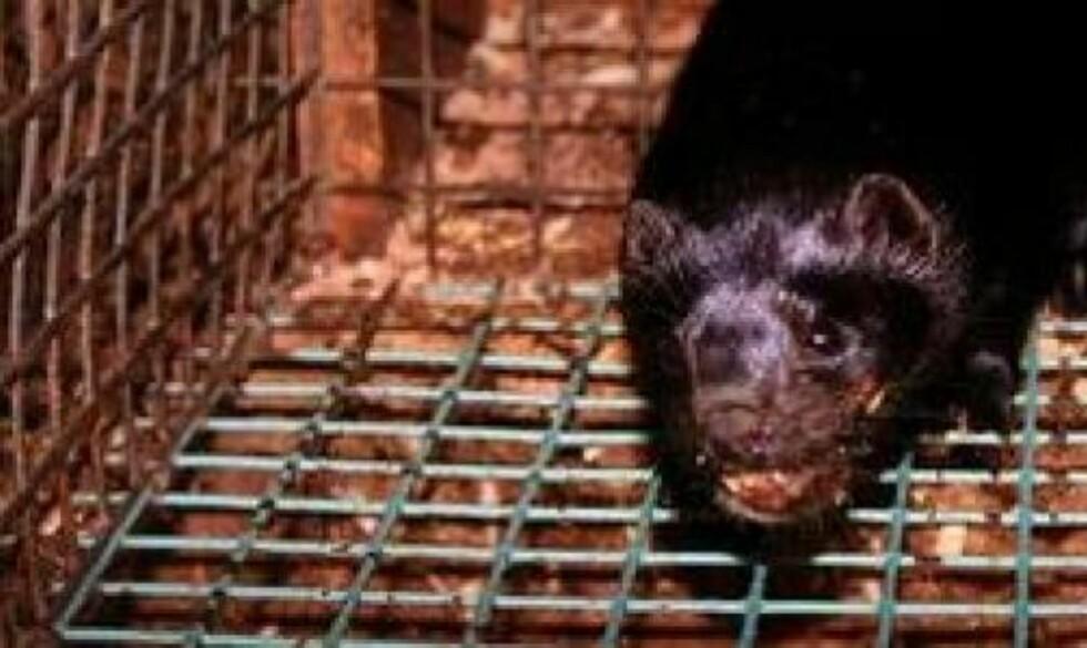 KJEVESKADER: Denne minken med kjeveskader er en brunmink, ifølge farmeier Steinar Linn. Han avviser at bildet er tatt på hans gård slik Nettverk for dyrs frihet hevder. Foto: Nettverk for dyrs frihet