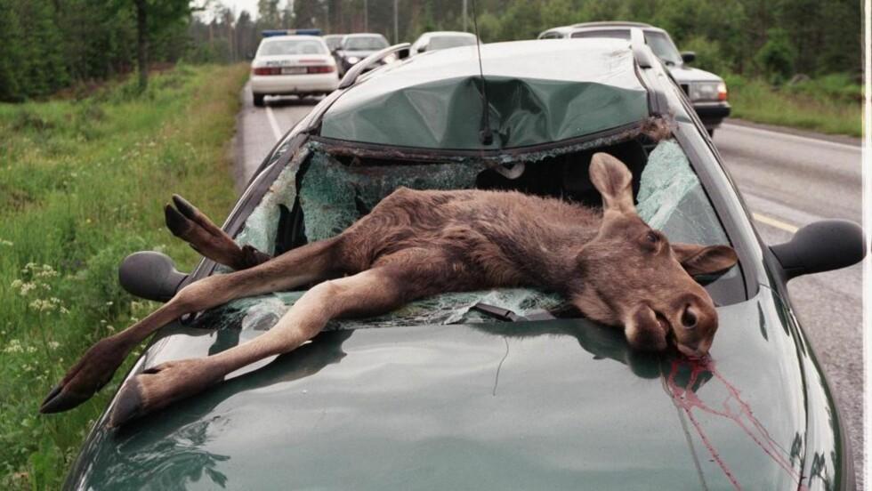 VIL GI TIL ULVEN: Tusenvis av elger blir årlig påkjørt og drept i trafikken. Turistene i denne bilen slapp med skrekken, da de traff en elg på riksvei 3 nord for Hurum i Hedmark i 1998. Illustrasjonsfoto: Tore Sannum, NTB/SCANPIX