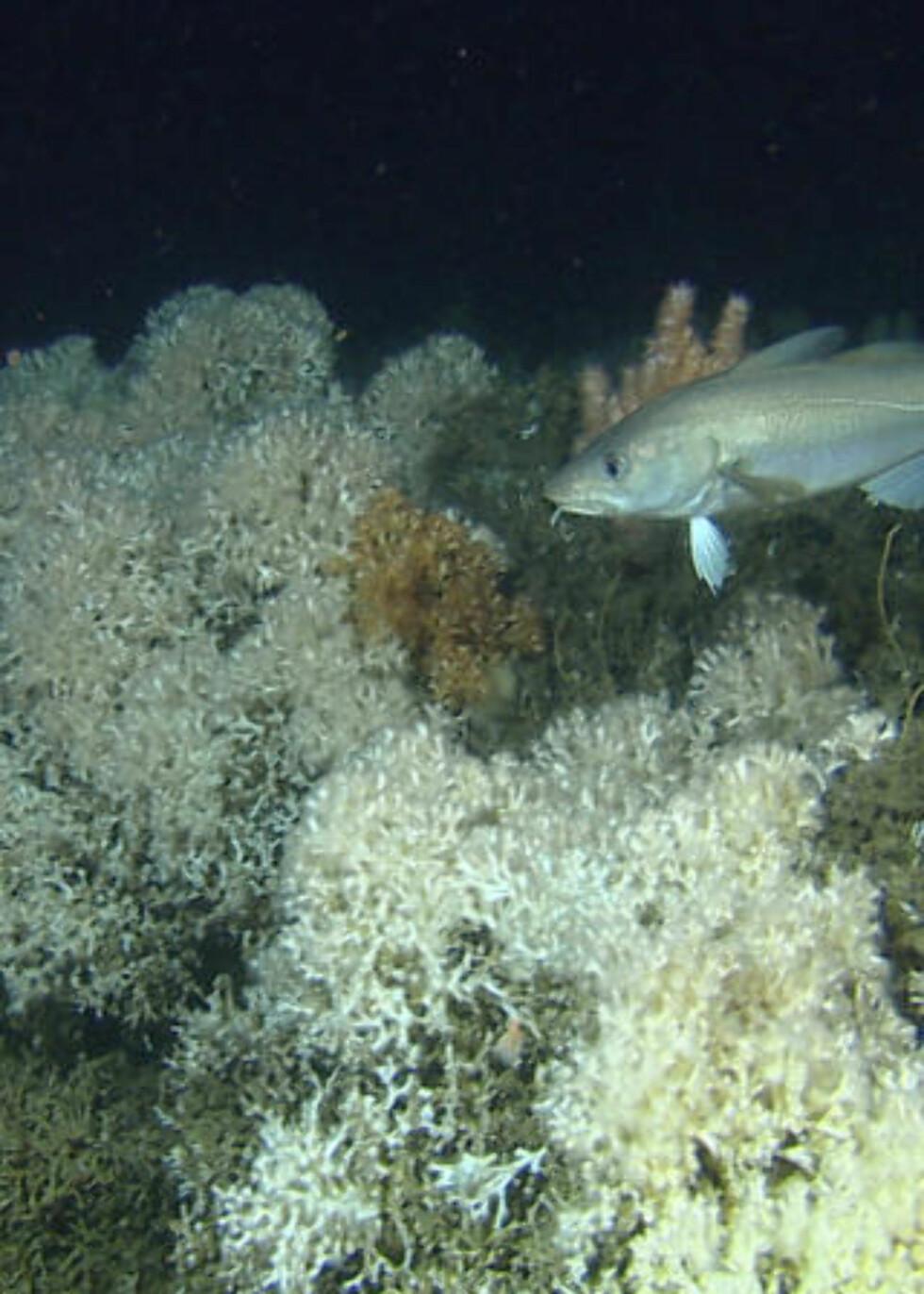 <strong> SÅRBAR NATUR:</strong> Ved koraller som dette, i området rundt Sularevett som er vernet, har Aker Exploration fått tillatelse til prøveboring. Foto: Havforskningsinstituttet.