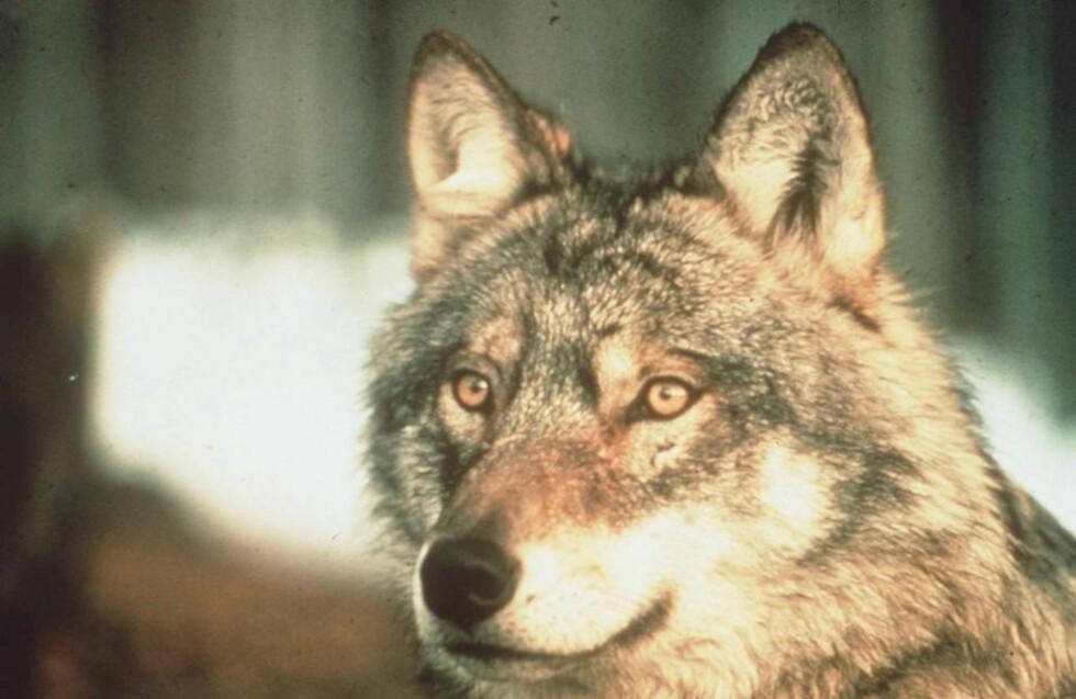 ULV, ULV:  Import av ulv skal redde ulvestammen i Norge fra snikskytere, melder Nationen i dag. Foto: Scanpix