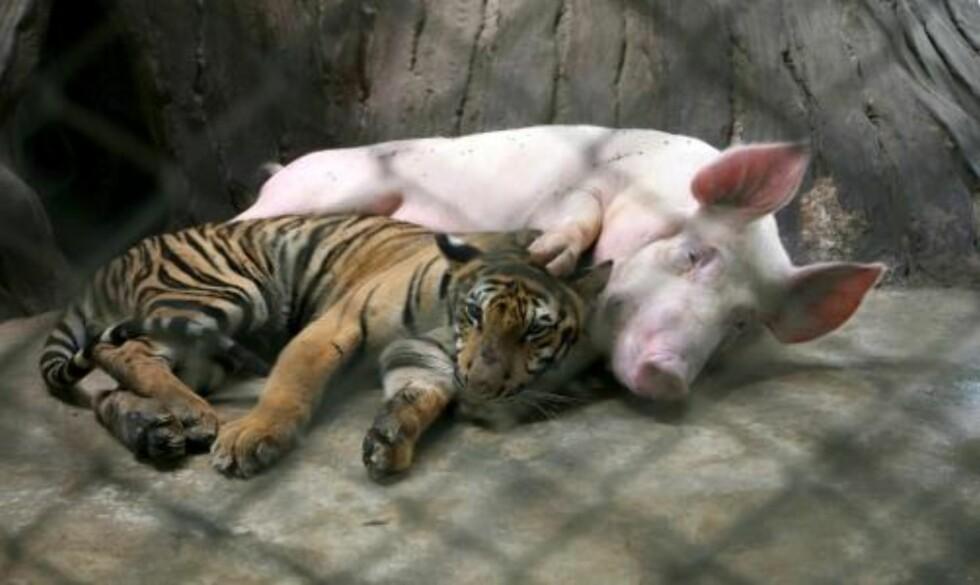 PASSER PÅ: Grisemoren passer godt på sin kjøttetende venn. Foto: EPA/BARBARA WALTON/SCANPIX
