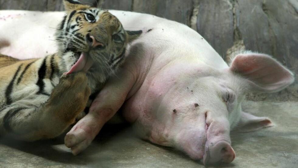 NAM NAM?: Tigerungen har ikke overlistet grisemammaen og gjør seg klar for dagens fete måltid. Tigerungen og grisemoren lever sammen i sus og dus i en dyrehage i Thailand. Foto: EPA/BARBARA WALTON/SCANPIX
