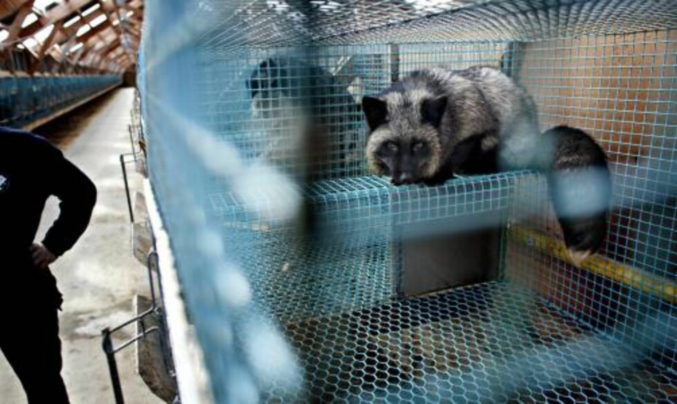 """GODKJENT BUR:  En sølvrev i nytt, godkjent bur ved Universitetet for miljø og bioenergi på Ås. Revene bor alene, eller kan få en """"toroms"""" sammen med naboreven via luken under på bildet. Foto: LARS EIVIND BONES."""