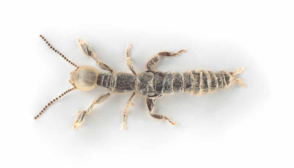 NYTT I NORDEN: Dette spinnfoting-insektet er så nytt på våre breddegrader at det ikke har fått noe navn. Foto: Arnstein Staverløkk, NINA.