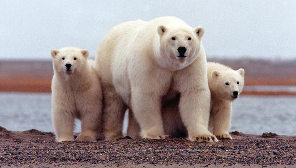 Illustrasjonsfoto av isbjørner i Alaska. Foto: Reuters / NTB scanpix