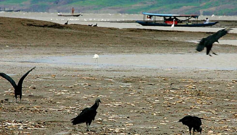 ET FESTMÅLTID FOR GRIBBENE: Det ligger millioner av død fisk i det uttørkede elveløpet like ved fiskerbyen Manaquiri. Alle foto: Scanpix