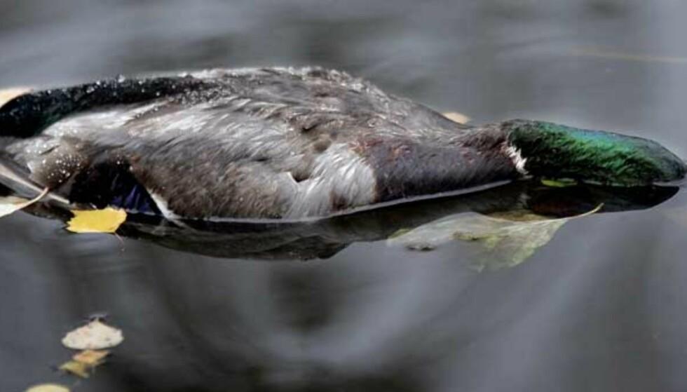 DØD AND:  Et titall ender er funnet døde i Eskilstuna. Foreløpig vet ikke svenskene om det er dødsviruset H5N1 som er dødsårsak. Foto: Sven Lindwall, Expressen