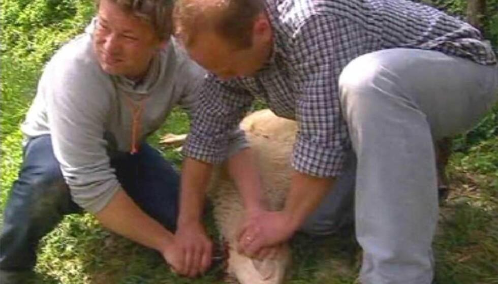 FÅR KRITIKK:  Bildet er tatt fra onsdagens sending av Jamie Olivers nye matprogram. Her må lammet bøte med livet. Foto: Kent News and Pictures