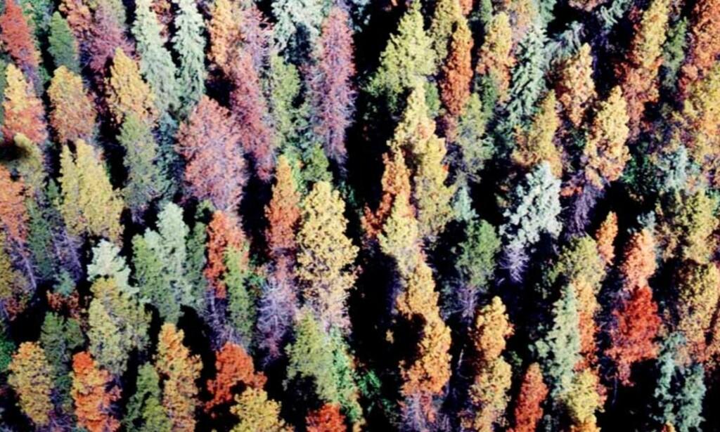 ILLEVARSLENDE RØDT: Dette er ikke trivelige høstfarger i en norsk løvskog, men mål på mål med døde furutrær, indirekte på grunn av global oppvarming. Foto: LEO RANKIN/Williams Lake Forestry Centre