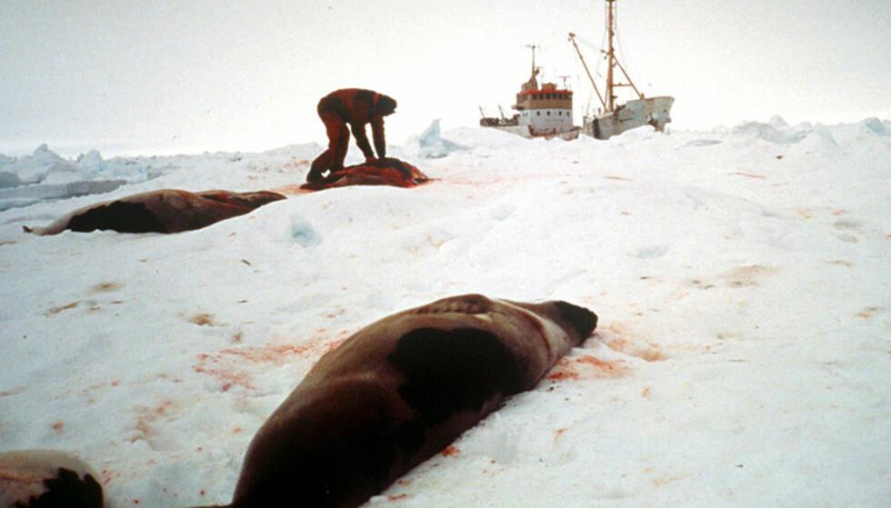 BRENNES ETTER FANGSTEN: Selene blir brent etter fangst. Foto: Scanpix