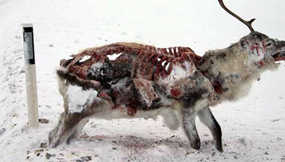 Ny «veiskilting» i Finnmark: døde reinsdyr