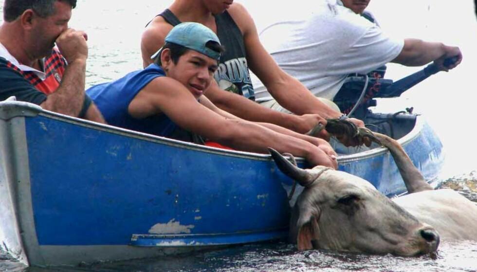 <strong><b>REDDE FOLK OG FE:</strong></b> Kveghandlere prøver å redde en ku fra flomvannet i Bolivia. Foto: Scanpix