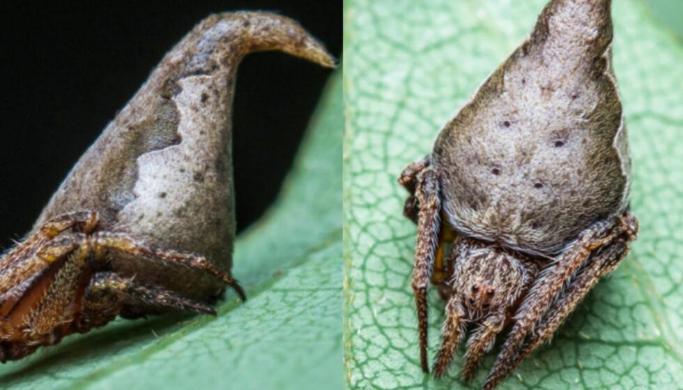 ERIOVIXIA GRYFFINDORI: En gruppe indiske edderkoppforskere kom nylig over en ny edderkoppart - som er blitt oppkalt etter et Harry Potter-vesen. Foto: Javed Ahmed / Indian Journal of Arachnology