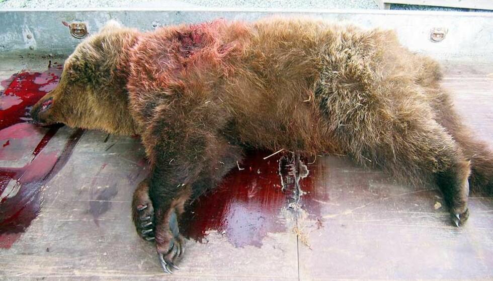 SLAPP IKKE UNNA: Den lille bjørnebinna unnslapp ikke gjeterens skudd i natt. Foto: Lierne Fritid
