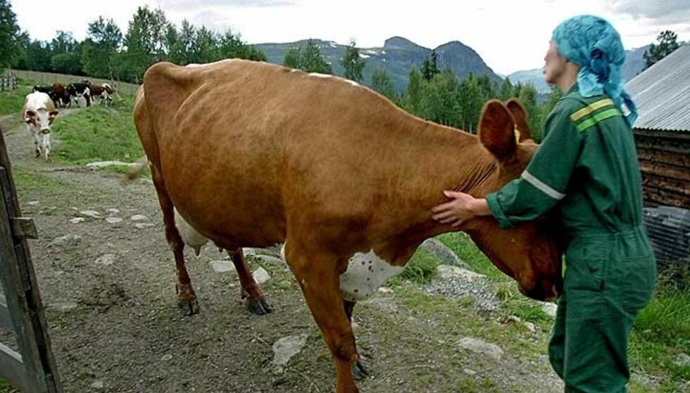 MELKE-STØTTE: Norske bønder får subsidier via statsbudsjettet til bl.a. melkeproduksjon for at melka til forbruker ikke skal bli altfor dyr. Subsidiene skal også bidra til å opprettholde melkeproduksjon i Norge. FOTO: SCANPIX