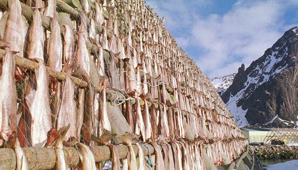 TØRRFISK: Ble rundt år 1000 en viktig eksportvare for Norge, som eksporterte fisken til Europa. Mestparten av fisken kom fra Nord-Norge. Bildet er fra Svolvær. Foto: Erik Veigård, NTB Pluss/SCANPIX