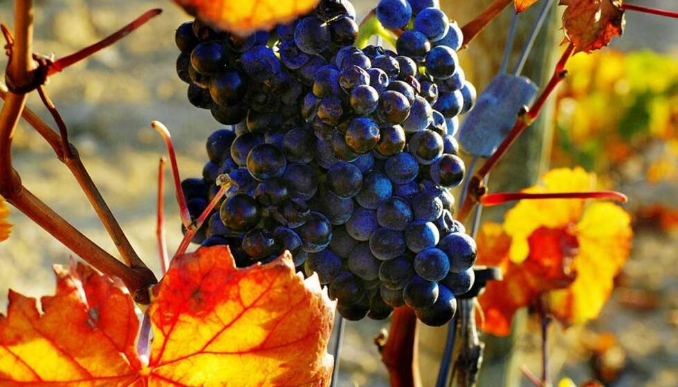 HØSTLANSERING: Vinimportørene lanserer i dag og neste fredag viner som Dagbladets vineksperter gir flest femmere og seksere. Noen treere og firere også. Foto: Nina Ruud