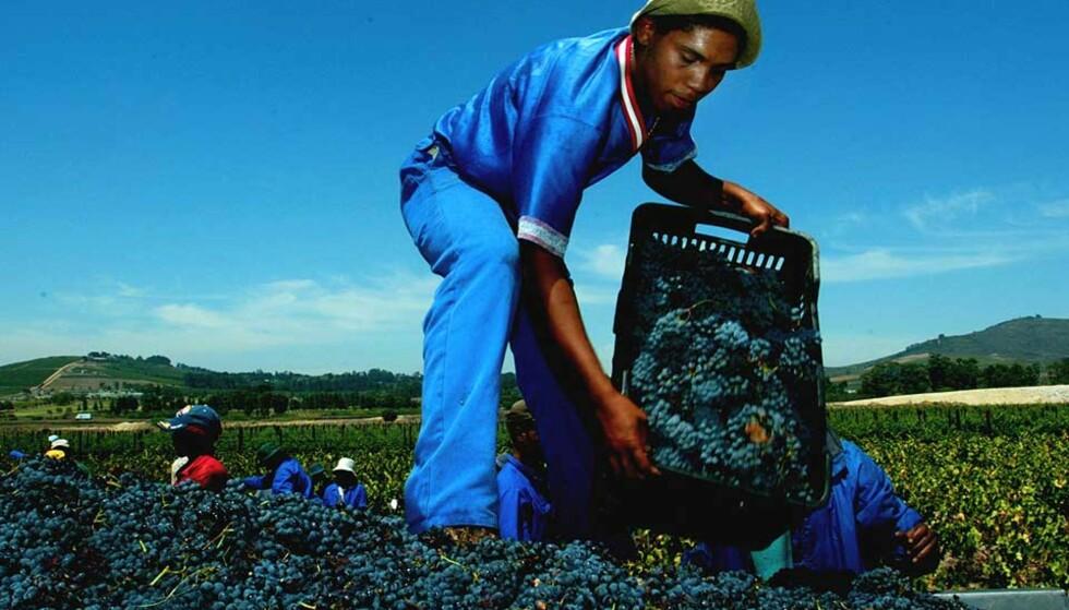 I FØRERSETET: Vinprodusenter fra området Stellenbosch utenfor Cape Town lager mye godt, som regel røde viner blandet av flere druetyper. Foto: AFP/SCANPIX