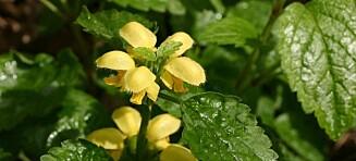Denne lille blomsten kan stoppe Bjarne Melgaards omstridte dødshus-prosjekt