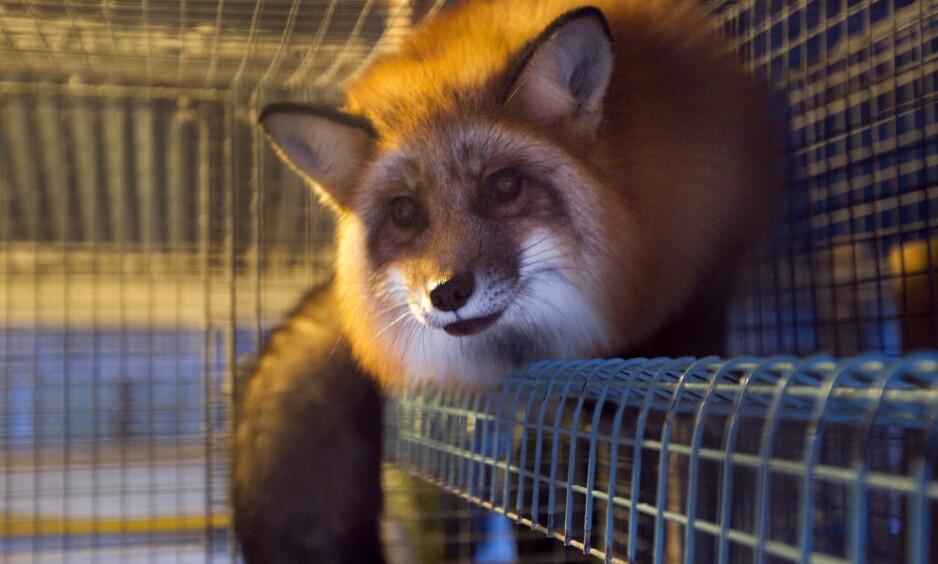 OPPKONSTRUERT:  Dyrevernalliansen bør nok konsentrera seg om å seta søkjelys på reell dyremishandling, og ikkje oppkonstruerte tilfelle som med pelsdyrhald. skriv artikkelforfattaren. Bildet er fra en gård på Vestre Toten. Foto: Heiko Junge / NTB Scanpix