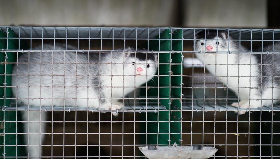 I BUR: Mink er ikke flokkdyr, og tilpasser seg ikke et liv i bur, mener artikkelforfatteren. Foto: Patric Söderström / NTB Scanpix