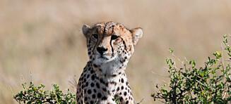 Verdens raskeste dyr er på full fart mot utrydding