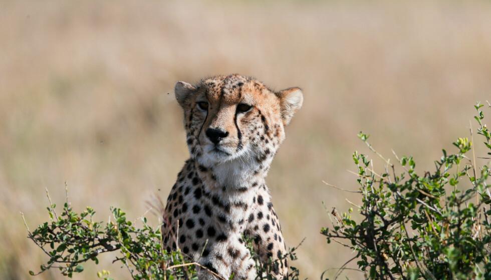 I FARE: Geparden, det raskeste dyret som fins på landjorda, er på vei mot utrydding hvis ikke nye tiltak blir iverksatt. Foto: Xinhua/Pan Siwei/NTB scanpix